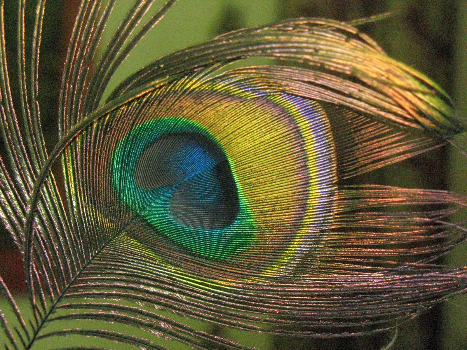 Totall All Pixz 1080p: Peacock HD Wallpapers