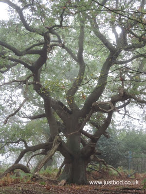 Oak Tree, Skipwith Common, North Yorkshire
