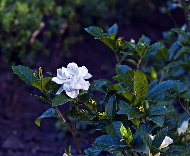 Flor de jasmin en colchon verde