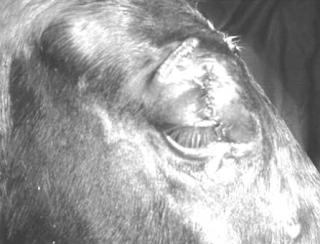 laserasi kelopak mata pada hewan
