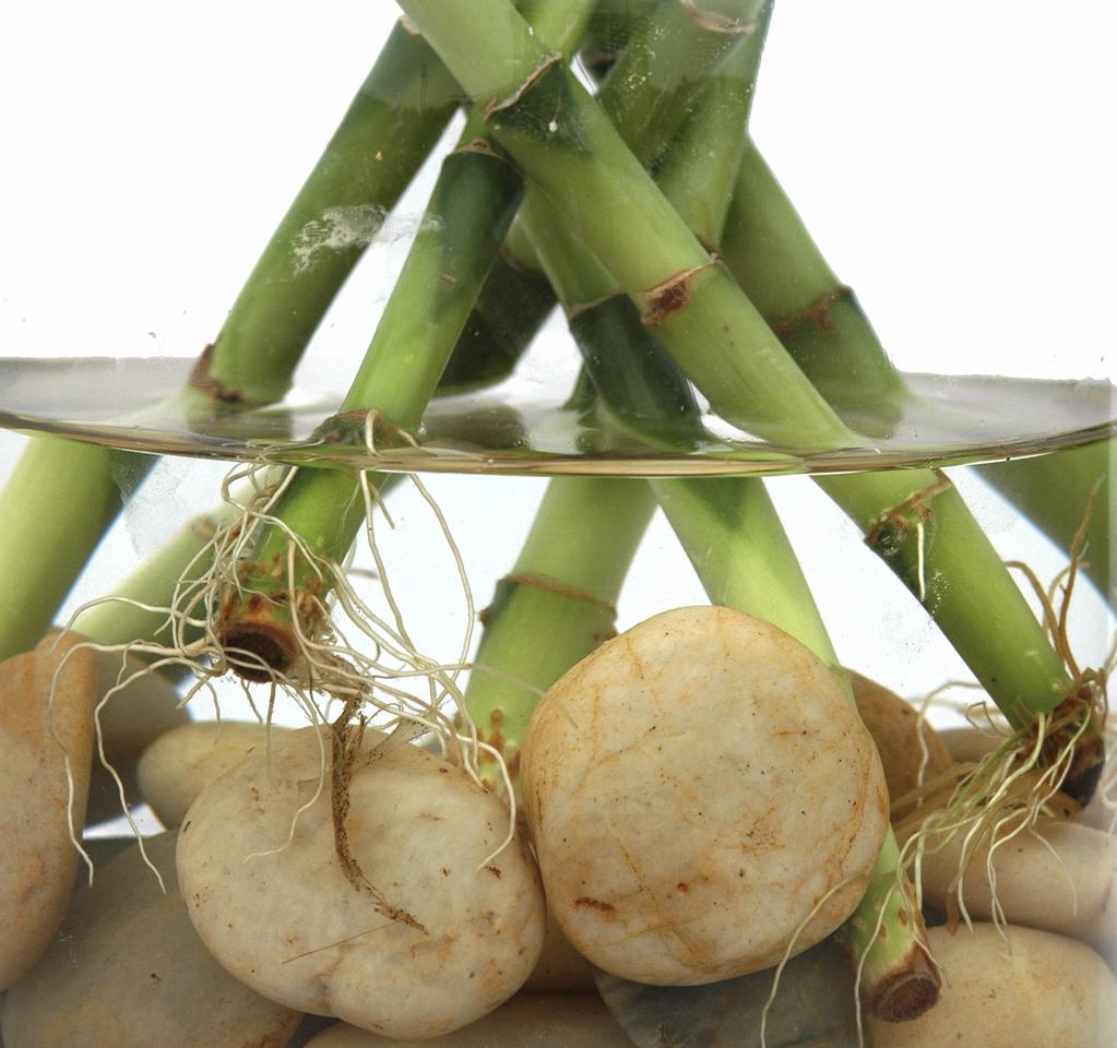 Cuidados del bamb de la suerte en agua amigos de la - Reproduccion del bambu ...