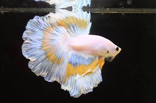 Hobby : Berternak Ikan cupang.