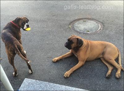 Boxer- Amy und Elvis im Hof