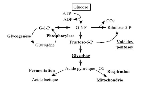 Oxydation du glucose