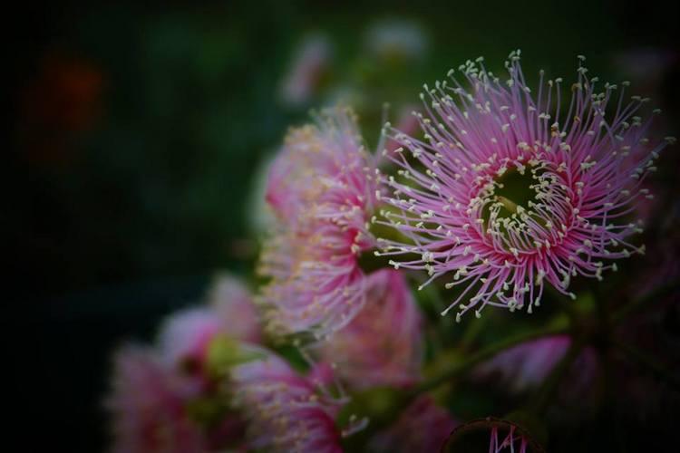 Corymbia citriodora. Tasmania. Australia