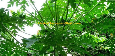 daun pepaya pencegah malaria, manfaat daun pepaya untuk diabetes, manfaat daun pepaya untuk wanita, manfaat daun pepaya, manfaat dan khasiat daun pepaya, manfaat daun pepaya bagi kesehatan, khasiat manfaat daun pepaya