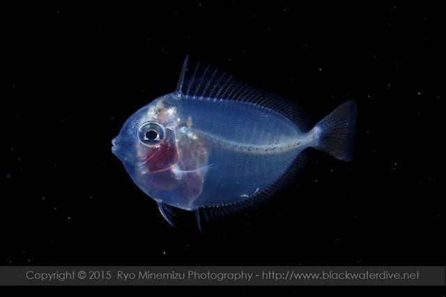 ニザダイ科(Acanthuridae)の稚魚