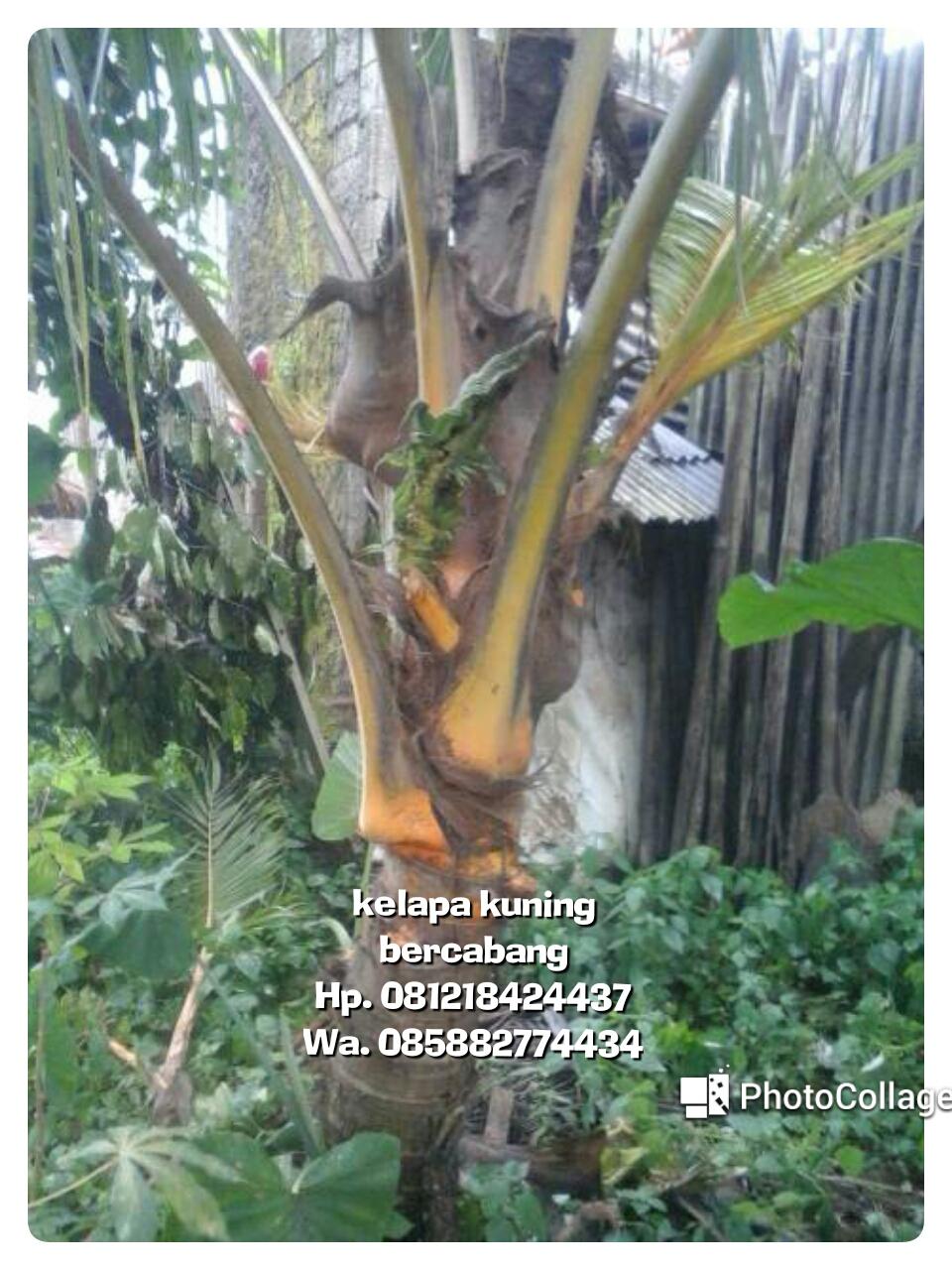 Tukang Taman Murah Pohon Kelapa Unik Cabang 3