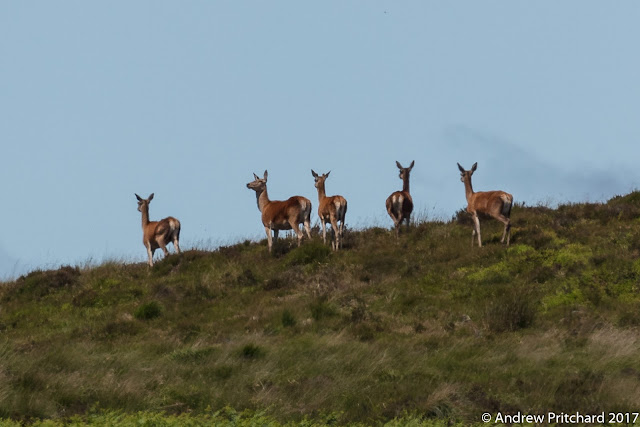 A group of hinds walking away over the skyline.