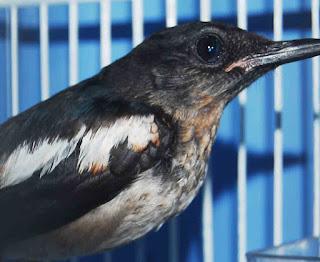 Burung Kacer - Hal yang Terpenting Dalam Memilih Burung Bakalan Kacer (Hasil Tangkaran / MH(Muda Hutan))
