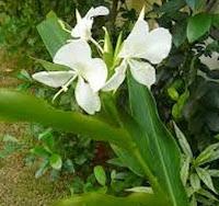 Gandasuli (Hedychium coronarium Koen.)