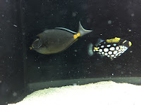 black and white fish in a tank