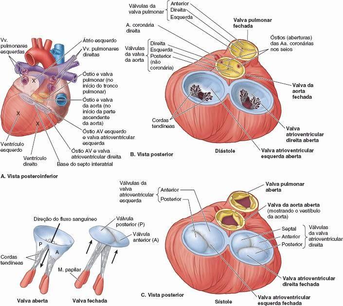 Bonito Anatomía De La Válvula Pulmonar Colección de Imágenes ...
