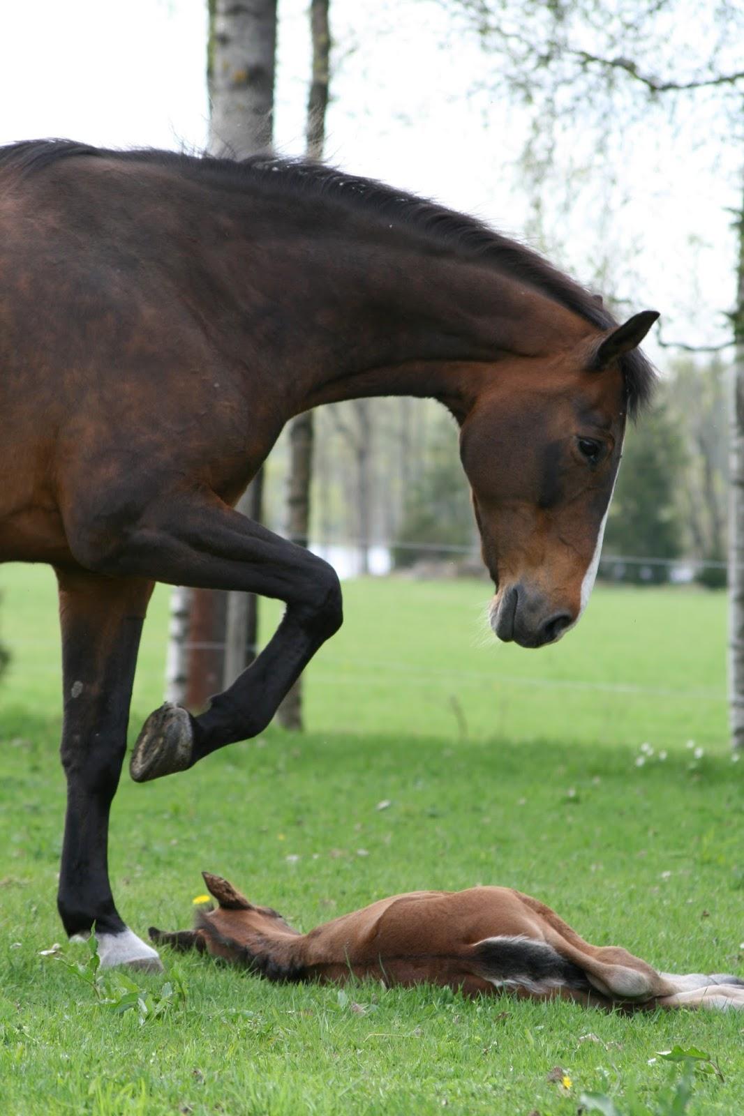grattis poor häst knull
