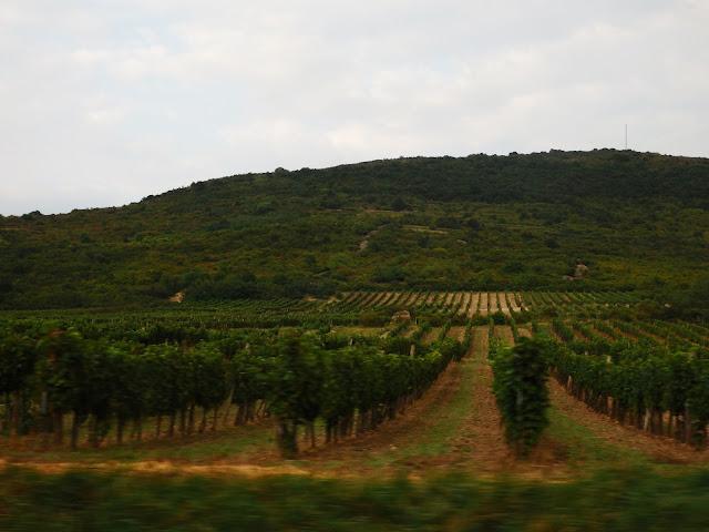 Węgierskie winnice w regionie Tokaj (wrzesień 2016) - zbliża się winobranie