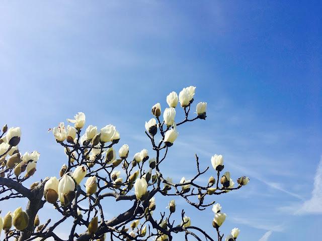 モクレンの花の写真