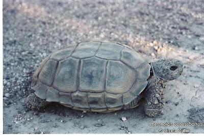 Tortuga terrestre patagónica Chelonoidis donosobarrosi