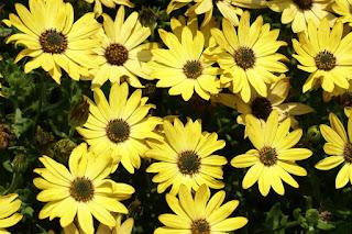 Dimorphoteca ecklonis 'Side Show Golden Yellow' - Osteospermum ecklonis 'Side Show Golden Yellow'