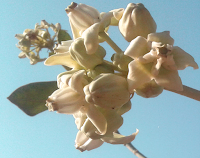 Arka flowers