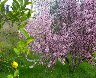 almond and lemon trees