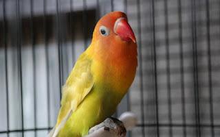 Lovebird sering nakal dan ngeruji over birahi