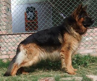 قیمت خرید توله سگ ژرمن