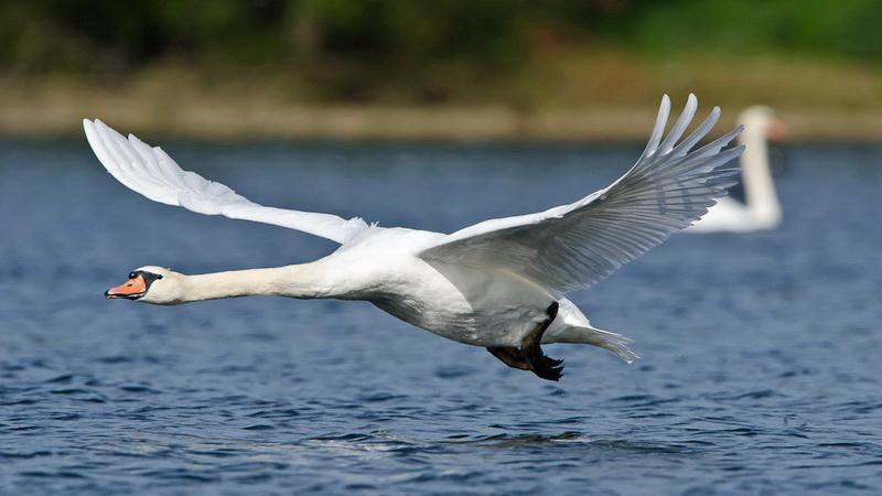 Κρούσμα γρίπης των πτηνών σε κύκνο στο Δέλτα του Έβρου