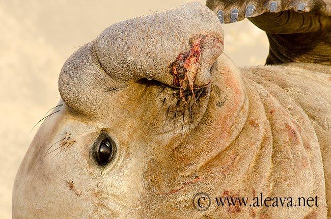 elefante marino y su trompa en Península Valdés