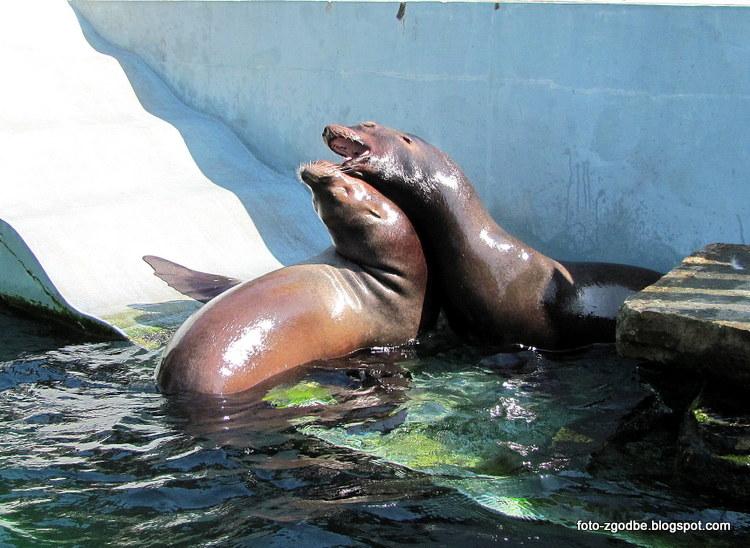 Kalifornijski morski lev
