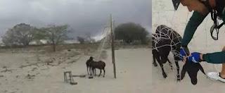 Grupo de ciclistas de Nova Palmeira salva ovelhas presas em rede