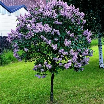 inkspired musings: Lilacs, New Hampshire and Walt Whitman