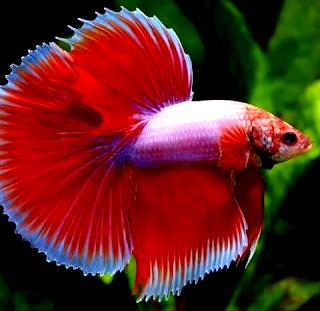 Budidaya ikan cupang hias jenis lapender red