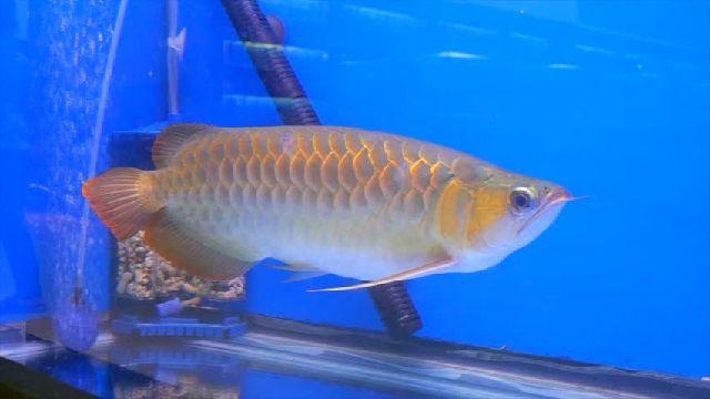 Jenis Ikan Arwana - ARWANA MALAYAN BONYTONGUE