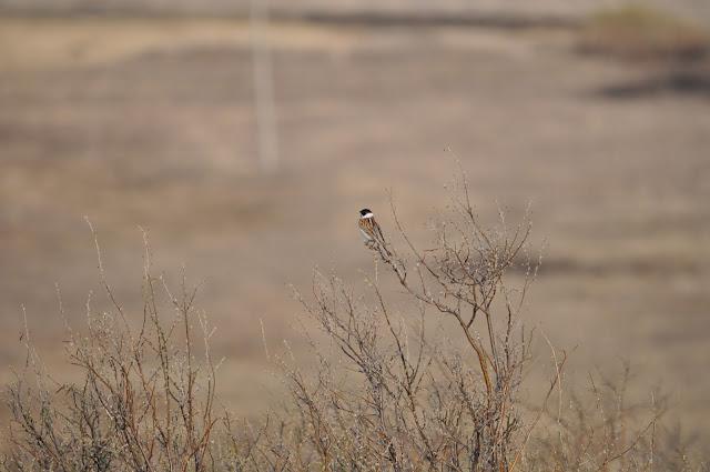Неизвестная птица с белым воротником