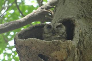 Jenis dan Harga Burung Hantu celepuk