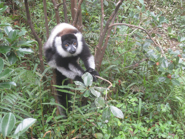 black and white ruffed lemur andasibe
