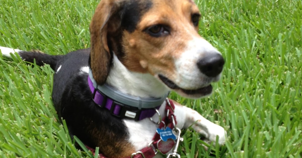 Life With Beagle Product Review Thunderleash