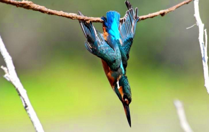 Contoh Menangkap Burung dengan pulut