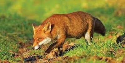 Ξεκινάει ο εμβολιασμός κατά της λύσσας των κόκκινων αλεπούδων στην ...