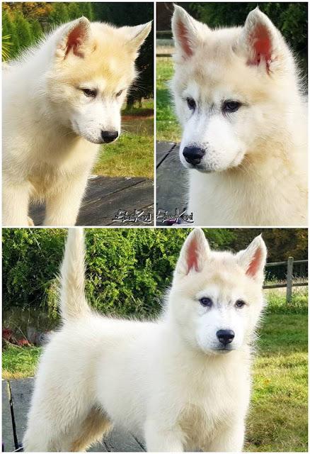 cachorro husky gris
