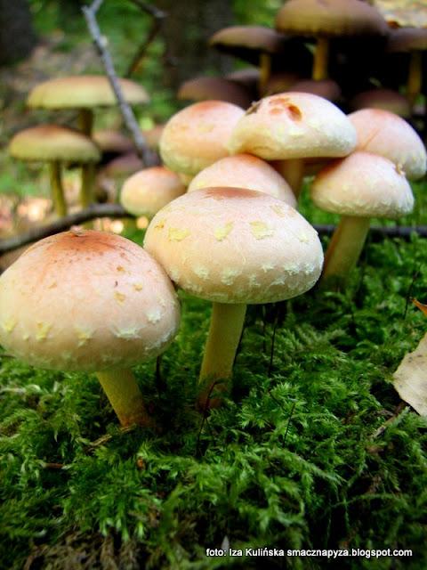 maślanka ceglasta, grzyby gatunkami, atlas grzybów