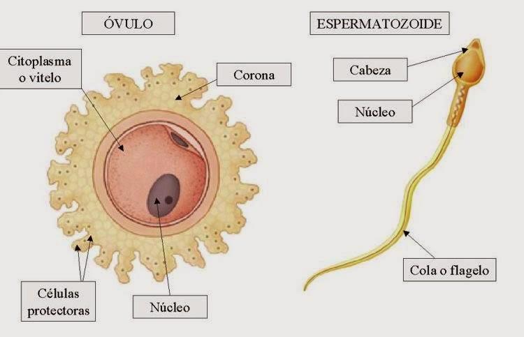 biologia2bachcamp: TEMA 1. 3º ESO. LA CÉLULA