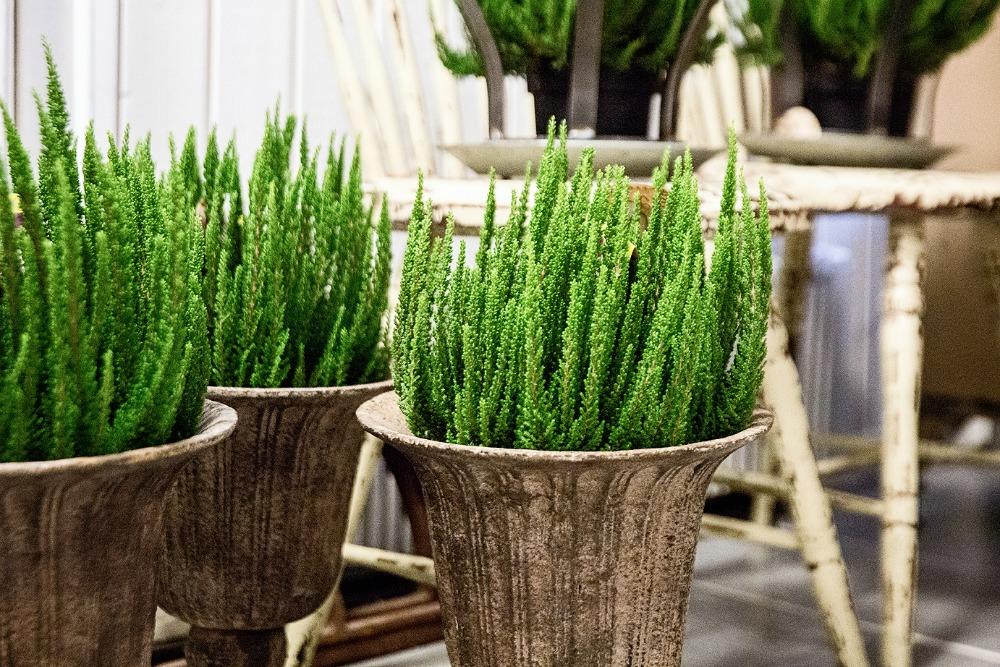 calluna, vihreä, kukkakauppa,