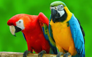 Harga Burung Nuri Jantan dan Betina Terbaru