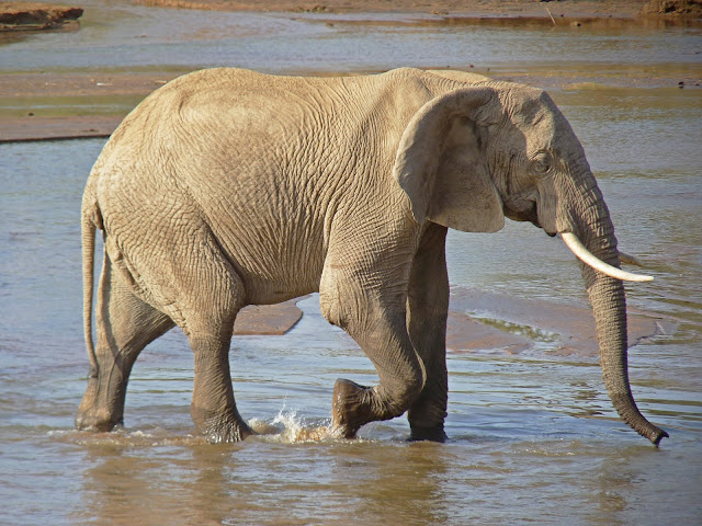 Licence this image of African Elephant