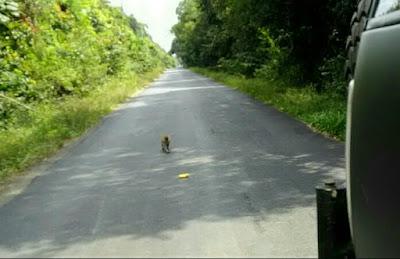 Gambar monyet di taman nasional way kambas lampung