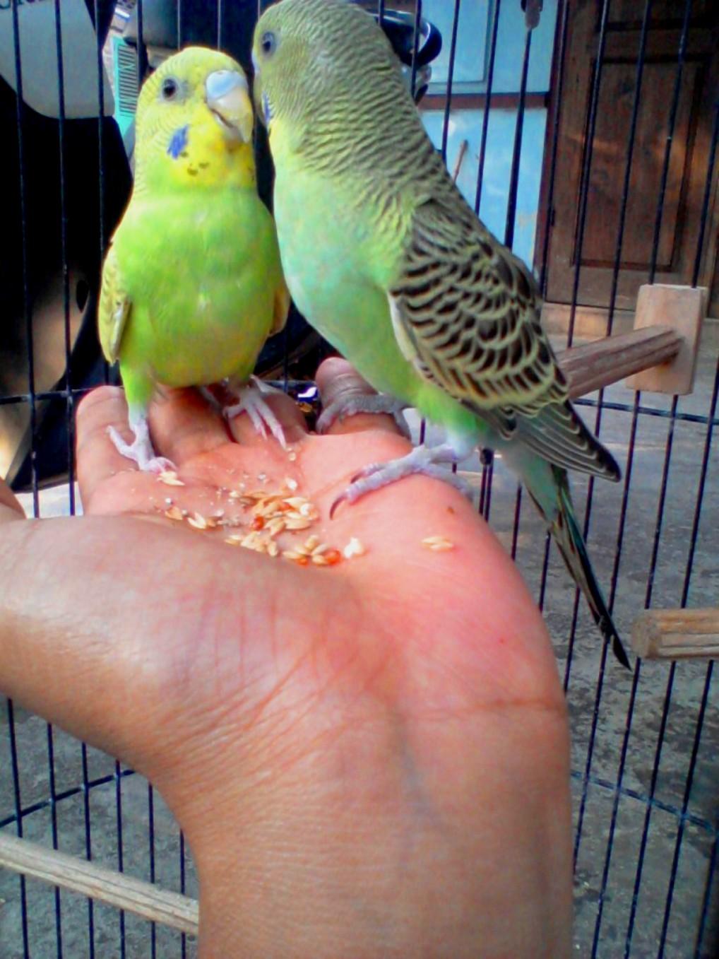 Mungkopas Makanan Burung Parkit