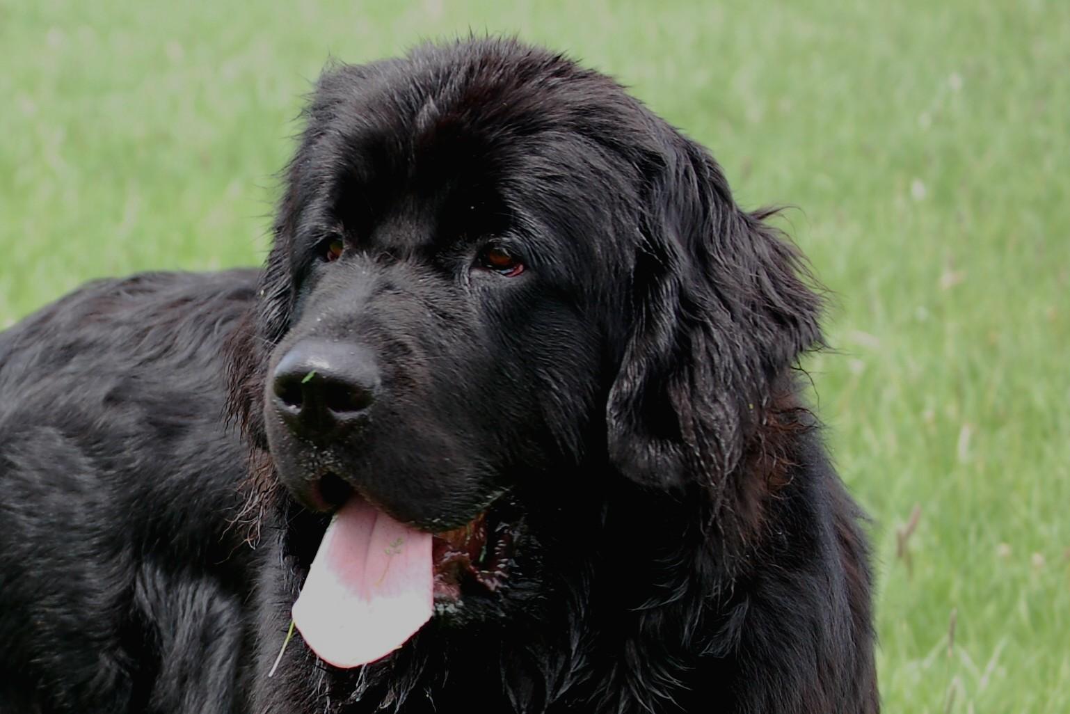 Extreme Dog Breeds Newfoundland Quotations