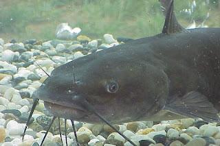 Makanan Ikan Lele Supaya Cepat Besar