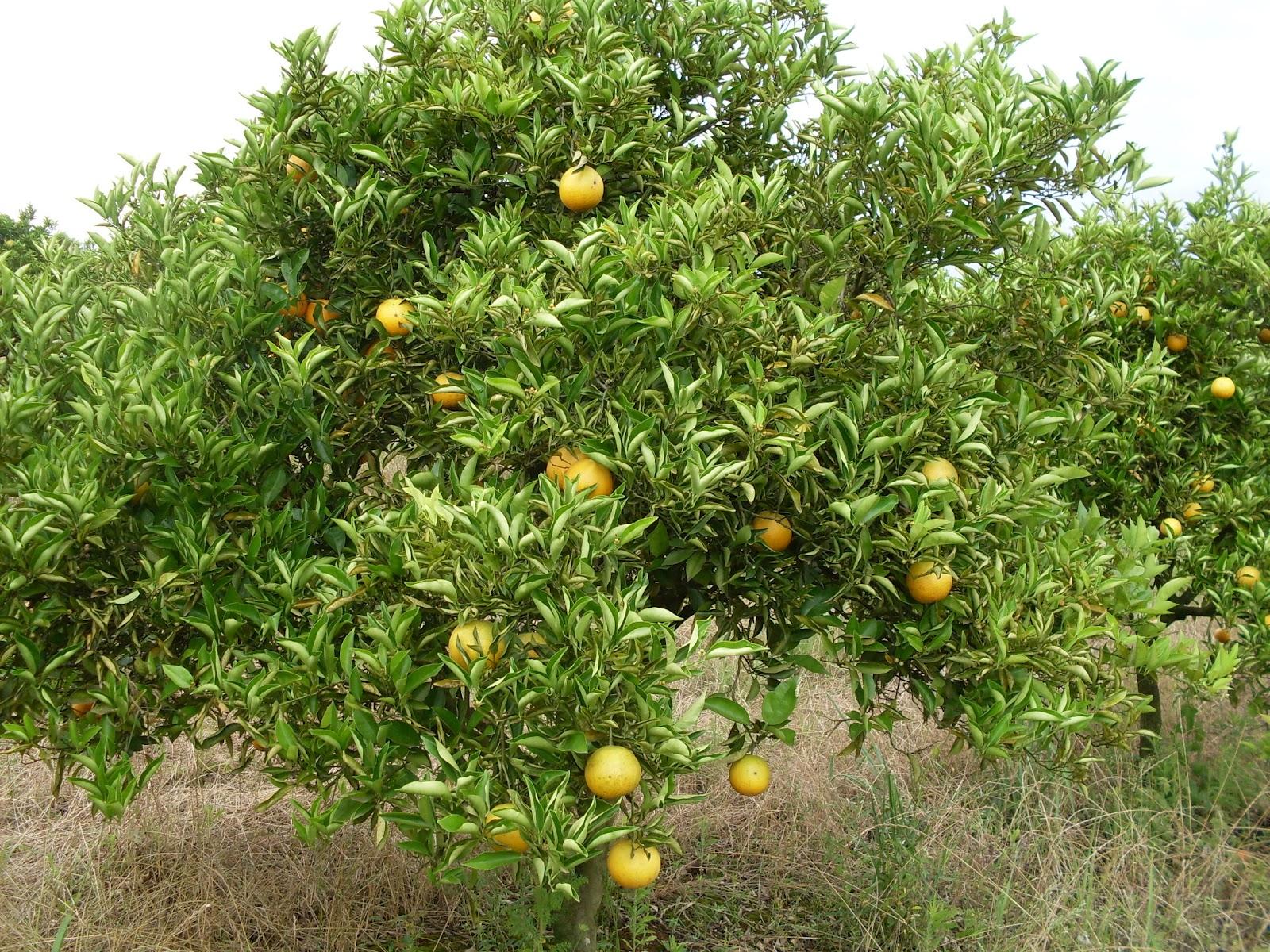 Produção de laranja em são paulo ficou concentrada com apenas 1% dos citricultores,. Rural Atual Epoca De Adubacao Na Cultura Da Laranja No Rs